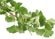 Ginkgo biloba: Saiba os benefícios dessa planta poderosa!