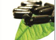 Pholia Negra: Como tomar? Realmente ajuda a emagrecer?