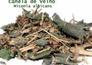 Chá de canela de velho: Conheça aqui esse poderoso remédio natural!